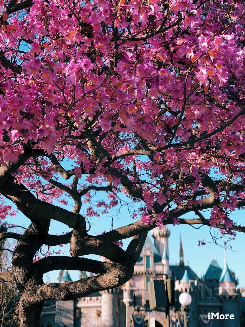 Cherry blossom tree in Disneyland with Sleeping Beauty's Castle in background