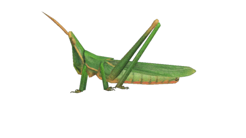 Animal Crossing New Horizons Long Locust